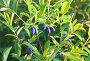 Кустарник садовой жимолости со спелыми попарными синими ягодами растет на сибирском дачном участке  (лат. Lonicera), фото № 26576112, снято 23 июня 2017 г. (c) Виктория Катьянова / Фотобанк Лори