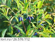 Купить «Кустарник садовой жимолости со спелыми попарными синими ягодами растет на сибирском дачном участке  (лат. Lonicera)», фото № 26576112, снято 23 июня 2017 г. (c) Виктория Катьянова / Фотобанк Лори