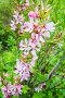 Almond in bloom. Bright pink flowers, фото № 26580364, снято 28 мая 2017 г. (c) Евгений Сергеев / Фотобанк Лори