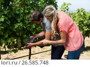 Купить «Young couple using pruning shears at vineyard», фото № 26585748, снято 31 января 2017 г. (c) Wavebreak Media / Фотобанк Лори