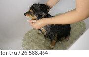 Купить «Funny Small Dog Bathing», видеоролик № 26588464, снято 27 июня 2017 г. (c) Илья Шаматура / Фотобанк Лори
