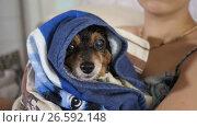 Купить «Small Dog After Bathing», видеоролик № 26592148, снято 27 июня 2017 г. (c) Илья Шаматура / Фотобанк Лори