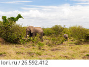 Купить «elephant with baby or calf in savannah at africa», фото № 26592412, снято 17 февраля 2017 г. (c) Syda Productions / Фотобанк Лори