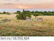 Купить «herd of zebras grazing in savannah at africa», фото № 26592424, снято 18 февраля 2017 г. (c) Syda Productions / Фотобанк Лори