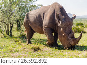 Купить «rhino grazing in savannah at africa», фото № 26592892, снято 20 февраля 2017 г. (c) Syda Productions / Фотобанк Лори