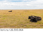 Купить «buffalo bulls grazing in savannah at africa», фото № 26593064, снято 17 февраля 2017 г. (c) Syda Productions / Фотобанк Лори