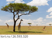 Купить «giraffes in savannah at africa», фото № 26593320, снято 20 февраля 2017 г. (c) Syda Productions / Фотобанк Лори