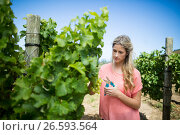 Купить «Young woman cutting grapes through pruning shears at vineyard», фото № 26593564, снято 31 января 2017 г. (c) Wavebreak Media / Фотобанк Лори