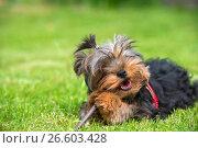 Купить «Портрет щенка йоркширского терьера, лежащего на траве и грызущего палку», фото № 26603428, снято 11 июня 2017 г. (c) Pukhov K / Фотобанк Лори