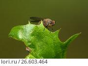Купить «Маленькая муха сидит на зеленом листе. Макро», фото № 26603464, снято 12 июня 2017 г. (c) Pukhov K / Фотобанк Лори