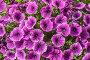 Петуния (лат. Petunia). Яркий цветочный фон, фото № 26605936, снято 18 июня 2017 г. (c) Владимир Сергеев / Фотобанк Лори