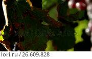 Купить «Close-up of red wine grapes», видеоролик № 26609828, снято 31 мая 2019 г. (c) Wavebreak Media / Фотобанк Лори