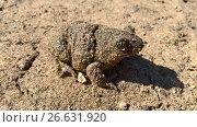 Купить «Земляная жаба», фото № 26631920, снято 4 июля 2017 г. (c) Кургузкин Константин Владимирович / Фотобанк Лори