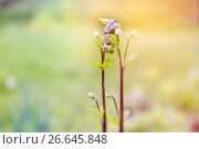 Купить «Молодая весенняя аквилегия цветет», фото № 26645848, снято 3 июня 2017 г. (c) Юрий Шурчков / Фотобанк Лори