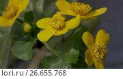 Marsh Marigold. Spring, pond, plant life. Стоковое видео, видеограф DPS / Фотобанк Лори