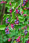 Ирга ( лат. Amelanchier ) — род растений семейства Розовые (Rosaceae), листопадный кустарник. Спеющая ягода на ветвях, фото № 26661112, снято 14 июля 2017 г. (c) Евгений Мухортов / Фотобанк Лори