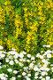 Вербейник (лат. Lysimachia) и мелкая хризантема в саду, фото № 26669472, снято 15 июля 2017 г. (c) Елена Коромыслова / Фотобанк Лори