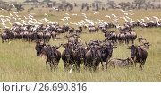 Купить «Wildebeests grazing in Serengeti National Park in Tanzania, East Africa», фото № 26690816, снято 29 января 2015 г. (c) Matej Kastelic / Фотобанк Лори