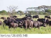 African Buffalo herd in the Ngorongoro Crater, Tanzania (2015 год). Стоковое фото, фотограф Matej Kastelic / Фотобанк Лори