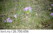 Купить «Early spring, crocus flowers against the background of a last year's grass», видеоролик № 26700656, снято 24 июля 2009 г. (c) Куликов Константин / Фотобанк Лори