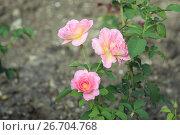 Купить «Розы», фото № 26704768, снято 25 июля 2017 г. (c) Валерий Шилов / Фотобанк Лори
