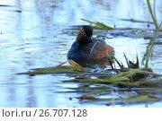 Купить «Поганка черношейная. Black-necked Grebe (Podiceps nigricollis, Podiceps caspicus). », фото № 26707128, снято 23 апреля 2017 г. (c) Василий Вишневский / Фотобанк Лори