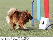 Купить «Собака породы немецкий шпиц на трассе Аджилити», фото № 26714280, снято 11 июня 2017 г. (c) Анна Зеленская / Фотобанк Лори