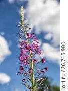 Купить «Иван-чай (Chamaenerion angustifolium), цветы на фоне синего неба», фото № 26715980, снято 2 июля 2016 г. (c) Юлия Бабкина / Фотобанк Лори