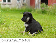 Купить «Lapland Reindeer dog, Reindeer Herder, lapinporokoira (Finnish), lapsk vallhund (Swedish). Monthly puppy in yard», фото № 26716108, снято 21 июля 2017 г. (c) Валерия Попова / Фотобанк Лори