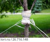 Купить «Подвязка саженца молодого дерева шпагатом», фото № 26716148, снято 26 мая 2017 г. (c) Вячеслав Палес / Фотобанк Лори