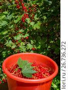 Купить «Ведро полное ягод красной смородины на фоне кустов с красной смородиной во время сбора урожая на огороде дачного участка», фото № 26736272, снято 6 августа 2017 г. (c) Николай Винокуров / Фотобанк Лори