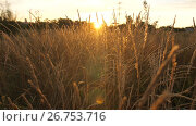 Купить «Field with tall grass at sunset», видеоролик № 26753716, снято 25 июля 2017 г. (c) Илья Шаматура / Фотобанк Лори