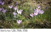 Купить «Early spring, crocus flowers against the background of a last year's grass», видеоролик № 26766156, снято 10 июня 2009 г. (c) Куликов Константин / Фотобанк Лори