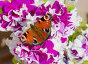 Бабочка павлиний глаз на цветке сиреневая петуния, фото № 26771004, снято 24 июля 2016 г. (c) Галина Савина / Фотобанк Лори