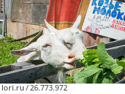 Купить «Не зли козу, пей молоко», фото № 26773972, снято 21 июля 2017 г. (c) Baturina Yuliya / Фотобанк Лори