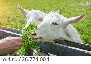 Купить «Трава для белых коз», фото № 26774004, снято 21 июля 2017 г. (c) Baturina Yuliya / Фотобанк Лори
