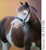 Купить «Портрет пегой кобылы породы Американская миниатюрная лошадь», фото № 26774156, снято 9 августа 2017 г. (c) Абрамова Ксения / Фотобанк Лори