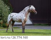 Купить «Американская миниатюрная лошадь. Жеребец чубарой масти в стойке.», фото № 26774160, снято 18 августа 2017 г. (c) Абрамова Ксения / Фотобанк Лори