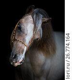 Купить «Американская миниатюрная лошадь. Портрет жеребца на черном фоне.», фото № 26774164, снято 18 августа 2017 г. (c) Абрамова Ксения / Фотобанк Лори