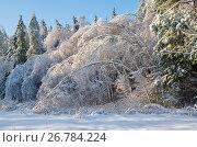 Купить «Зимний лес. Березки склонились от ледяного дождя», фото № 26784224, снято 15 ноября 2016 г. (c) Елена Коромыслова / Фотобанк Лори