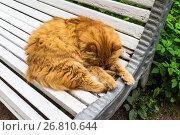 Купить «Пушистый рыжий кот спит на лавочке в городском парке», фото № 26810644, снято 19 августа 2017 г. (c) Виктория Катьянова / Фотобанк Лори