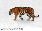 Купить «Siberian tiger (Panthera tigris altaica), also known as Amur tiger goes on snow», фото № 26812268, снято 5 февраля 2017 г. (c) Валерия Попова / Фотобанк Лори