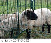 Купить «Овцы черномордой немецкой породы стоят в загоне», фото № 26813632, снято 5 августа 2017 г. (c) Ирина Борсученко / Фотобанк Лори