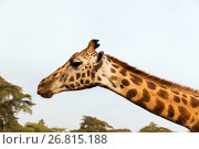 Купить «giraffe in africa», фото № 26815188, снято 21 февраля 2017 г. (c) Syda Productions / Фотобанк Лори