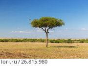 Купить «eagle flying away from tree in savannah at africa», фото № 26815980, снято 20 февраля 2017 г. (c) Syda Productions / Фотобанк Лори