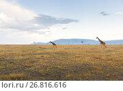 Купить «giraffes in savannah at africa», фото № 26816616, снято 18 февраля 2017 г. (c) Syda Productions / Фотобанк Лори