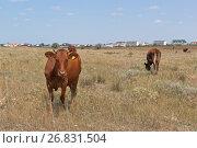 Купить «Стадо рыжих коров пасётся на фоне посёлка в Крыму», фото № 26831504, снято 20 июля 2017 г. (c) Николай Мухорин / Фотобанк Лори