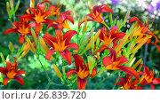 Купить «Beautiful bright daylilies on the flowerbed», видеоролик № 26839720, снято 6 августа 2017 г. (c) Володина Ольга / Фотобанк Лори