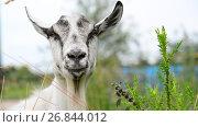 Купить «White goat without horns in nature», видеоролик № 26844012, снято 12 июля 2017 г. (c) Володина Ольга / Фотобанк Лори