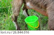 Купить «woman milking a goat in the open air. Russia», видеоролик № 26844016, снято 12 июля 2017 г. (c) Володина Ольга / Фотобанк Лори